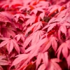 "Japanese Maple • <a style=""font-size:0.8em;"" href=""http://www.flickr.com/photos/57268629@N00/14698319025/"" target=""_blank"">View on Flickr</a>"