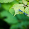 "Damselfly • <a style=""font-size:0.8em;"" href=""http://www.flickr.com/photos/57268629@N00/14536824376/"" target=""_blank"">View on Flickr</a>"